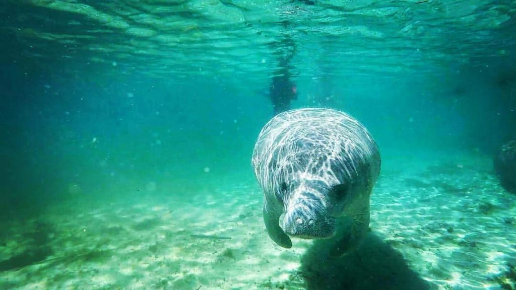 A manatee underwater at Crystal River, Florida.