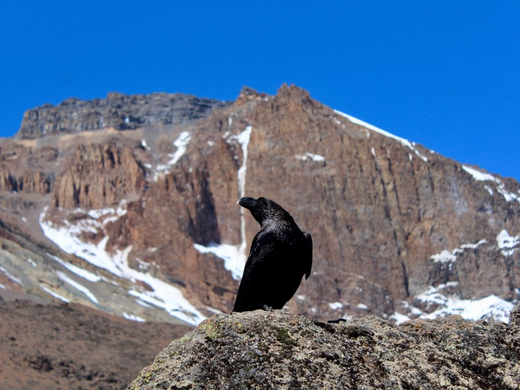 A raven in the foreground with Kilimanjaro blurred in the background.