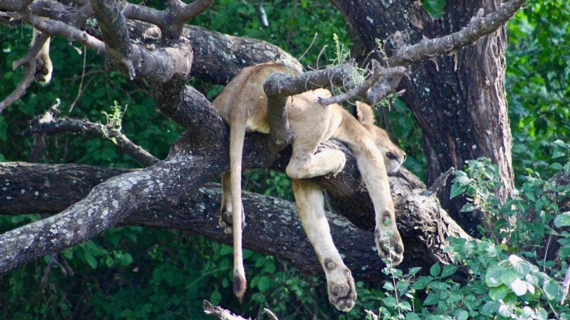 A lion asleep in a tree while on safari after climbing Kilimanjaro.