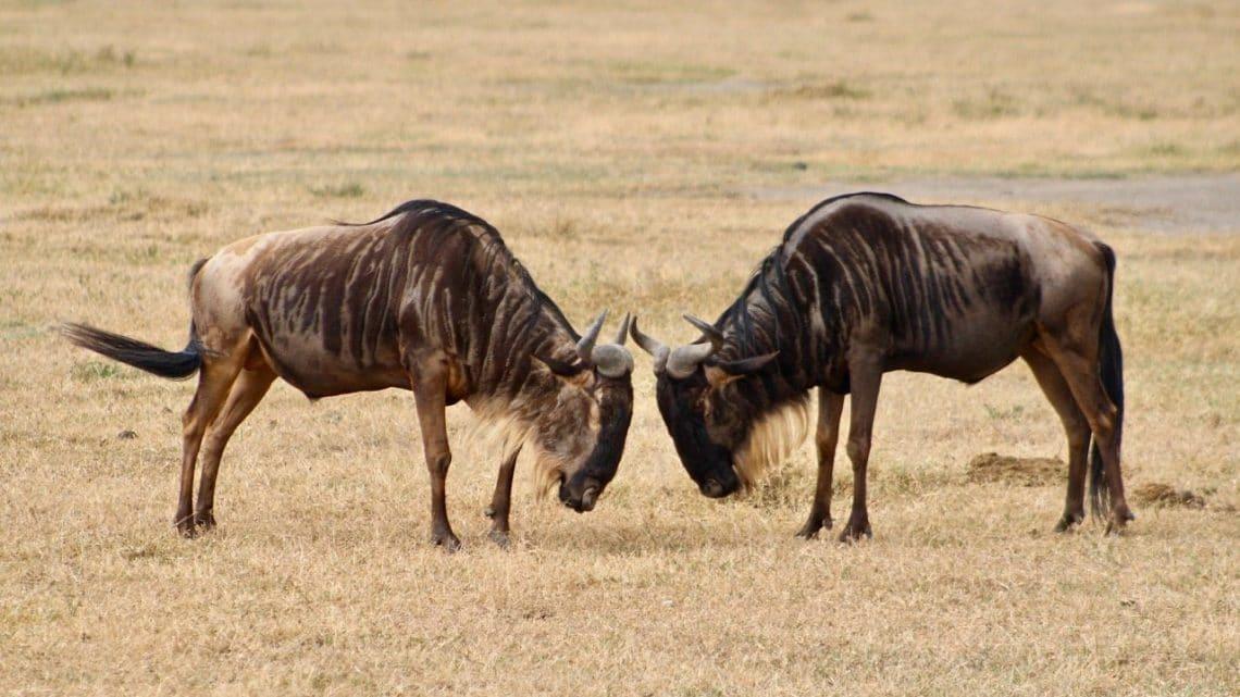 A pair of wildebeest spar on the savanna.